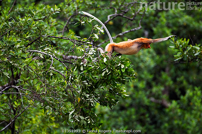 Proboscis Monkey (Nasalis larvatus) jumping through the forest canopy. Bako National Park, Sarawak, Borneo, Malaysia, March.  ,  ACTION,ASIA,BORNEO,ENDANGERED,HABITAT,JUMPING,MALAYSIA,MAMMALS,MONKEYS,NP,PRIMATES,RESERVE,SOUTH EAST ASIA,TROPICAL RAINFOREST,National Park  ,  Fiona Rogers