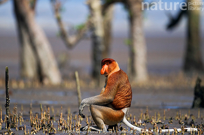 Proboscis Monkey (Nasalis larvatus) male sitting on a rock on the mudflats of a mangrove swamp revealed at low tide. Bako National Park, Sarawak, Borneo, Malaysia, March.  ,  ASIA,BORNEO,ENDANGERED,HABITAT,MALAYSIA,MALES,MAMMALS,MANGROVES,MONKEYS,NP,PRIMATES,RESERVE,SOUTH EAST ASIA,TROPICAL RAINFOREST,National Park  ,  Fiona Rogers