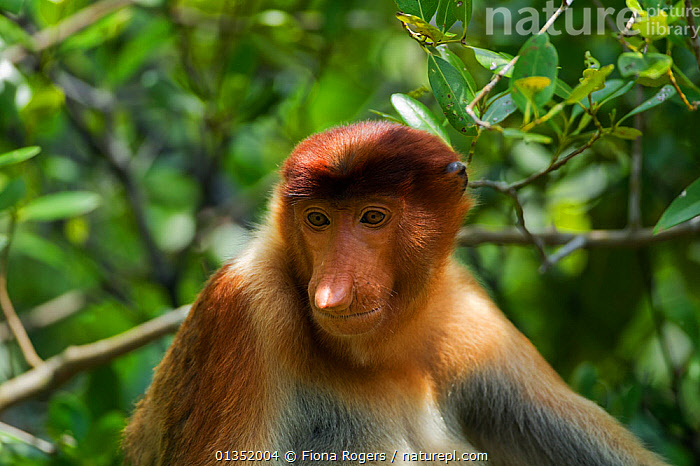 Proboscis Monkey (Nasalis larvatus) young male sitting in a tree - portrait. Bako National Park, Sarawak, Borneo, Malaysia, March.  ,  ASIA,BORNEO,ENDANGERED,MALAYSIA,MALES,MAMMALS,MONKEYS,NP,PORTRAITS,PRIMATES,RESERVE,SOUTH EAST ASIA,TROPICAL RAINFOREST,YOUNG,National Park  ,  Fiona Rogers