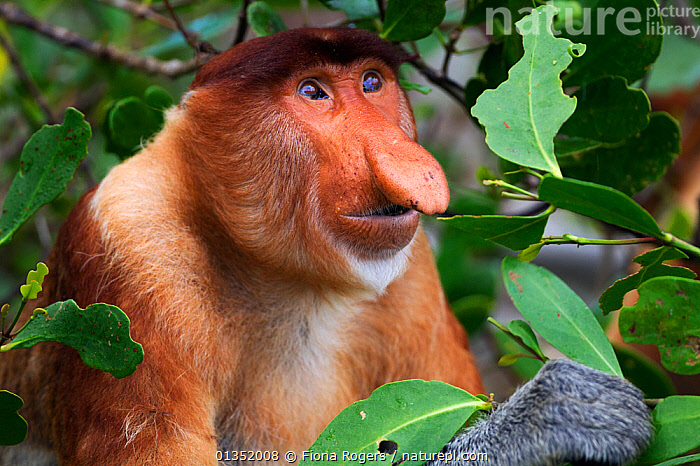 Proboscis Monkey (Nasalis larvatus) mature male head and shoulders portrait. Bako National Park, Sarawak, Borneo, Malaysia, April. Did you know? A Proboscis monkey's nose can reach up to a quarter of the length of its body.  ,  ASIA,BORNEO,ENDANGERED,EXPRESSIONS,FACES,MALAYSIA,MALES,MAMMALS,MONKEYS,NP,PORTRAITS,PRIMATES,RESERVE,SOUTH EAST ASIA,TROPICAL RAINFOREST,National Park,biodiversity hotspots,biodiversity hotspot,picday,biodiversity,sundaland  ,  Fiona Rogers