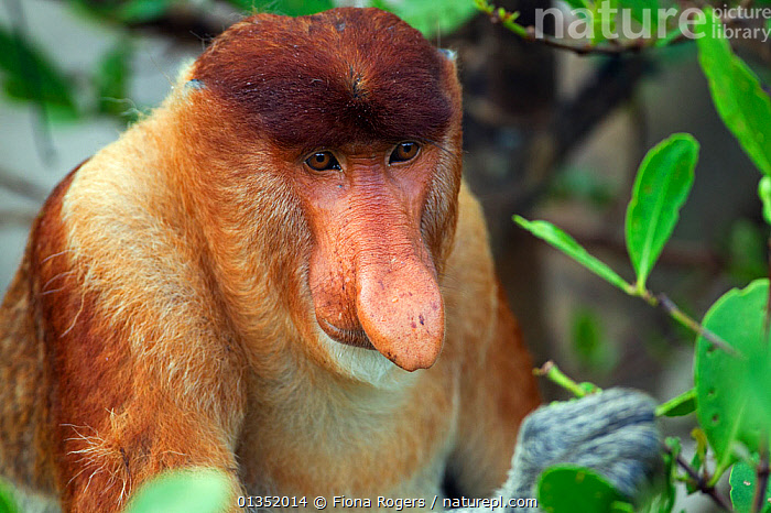 Proboscis Monkey (Nasalis larvatus) mature male feeding on leaves head portrait. Bako National Park, Sarawak, Borneo, Malaysia, April.  ,  ASIA,BORNEO,ENDANGERED,MALAYSIA,MALES,MAMMALS,MONKEYS,NP,PORTRAITS,PRIMATES,RESERVE,SOUTH EAST ASIA,TROPICAL RAINFOREST,National Park  ,  Fiona Rogers