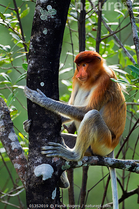 Proboscis Monkey (Nasalis larvatus) young male sitting in a tree. Bako National Park, Sarawak, Borneo, Malaysia, April.  ,  ASIA,BORNEO,ENDANGERED,HABITAT,MALAYSIA,MALES,MAMMALS,MONKEYS,NP,PORTRAITS,PRIMATES,RESERVE,SOUTH EAST ASIA,TROPICAL RAINFOREST,VERTICAL,YOUNG,National Park  ,  Fiona Rogers
