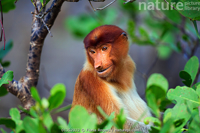 Proboscis Monkey (Nasalis larvatus) young male sitting in a tree - head and shoulders portrait. Bako National Park, Sarawak, Borneo, Malaysia, April.  ,  ASIA,BORNEO,ENDANGERED,MALAYSIA,MALES,MAMMALS,MONKEYS,NP,PORTRAITS,PRIMATES,RESERVE,SOUTH EAST ASIA,TROPICAL RAINFOREST,YOUNG,National Park  ,  Fiona Rogers