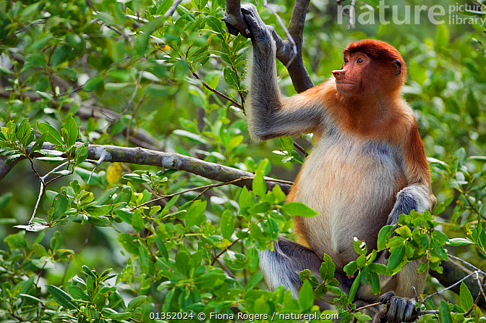 Proboscis Monkey (Nasalis larvatus) young male sitting in a tree. Bako National Park, Sarawak, Borneo, Malaysia, April.  ,  ASIA,BORNEO,COPYSPACE,ENDANGERED,HABITAT,MALAYSIA,MALE,MALES,MAMMALS,MONKEYS,NP,PORTRAITS,PRIMATES,RESERVE,SOUTH EAST ASIA,TROPICAL RAINFOREST,YOUNG,National Park  ,  Fiona Rogers