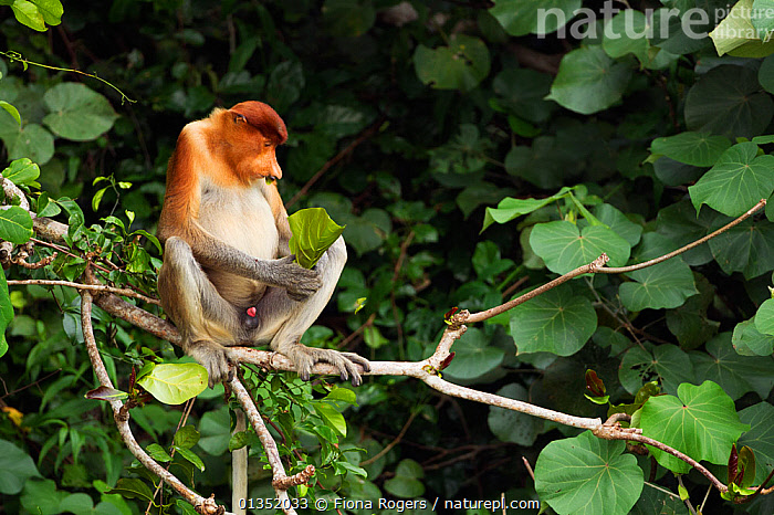 Proboscis Monkey (Nasalis larvatus) young male feeding on leaves in the forest canopy. Bako National Park, Sarawak, Borneo, Malaysia, April.  ,  ASIA,BORNEO,ENDANGERED,HABITAT,MALAYSIA,MALES,MAMMALS,MONKEYS,NP,PRIMATES,RESERVE,SITTING,SOUTH EAST ASIA,TROPICAL RAINFOREST,YOUNG,National Park  ,  Fiona Rogers