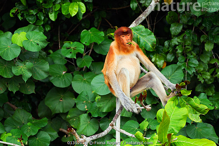 Proboscis Monkey (Nasalis larvatus) young male feeding on leaves in the forest canopy. Bako National Park, Sarawak, Borneo, Malaysia, April.  ,  ASIA,BORNEO,ENDANGERED,FEEDING,HABITAT,MALAYSIA,MALES,MAMMALS,MONKEYS,NP,PORTRAITS,PRIMATES,RESERVE,SITTING,SOUTH EAST ASIA,TROPICAL RAINFOREST,YOUNG,National Park  ,  Fiona Rogers