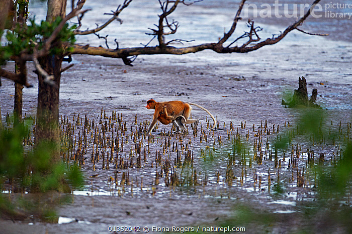 Proboscis Monkey (Nasalis larvatus) female carrying an infant under her belly walking on the mudflats of a mangrove swamp at low tide. Bako National Park, Sarawak, Borneo, Malaysia, April.  ,  ASIA,BORNEO,ENDANGERED,HABITAT,MALAYSIA,MAMMALS,MANGROVES,MONKEYS,MOTHER BABY,NP,PRIMATES,RESERVE,SOUTH EAST ASIA,TROPICAL RAINFOREST,National Park  ,  Fiona Rogers