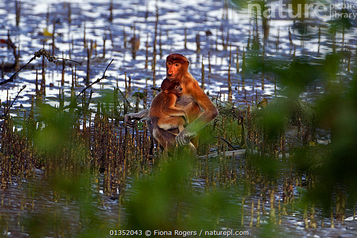 Proboscis Monkey (Nasalis larvatus) female holding a baby sitting on the mudflats of a mangrove swamp at low tide. Bako National Park, Sarawak, Borneo, Malaysia, April.  ,  ASIA,BORNEO,CUTE,ENDANGERED,HABITAT,MALAYSIA,MAMMALS,MANGROVES,MONKEYS,MOTHER BABY,NP,PARENTAL,PRIMATES,RESERVE,SOUTH EAST ASIA,TROPICAL RAINFOREST,TWO,National Park  ,  Fiona Rogers
