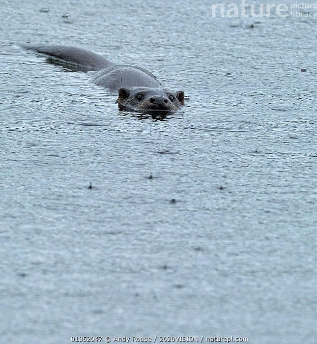 European river otter (Lutra lutra) swimming across lake in rain, Wales, UK, October  ,  2020VISION,CARNIVORES,EUROPE,FRESHWATER,LAKES,MAMMALS,MUSTELIDS,OTTERS,RAIN,RAINING,SURFACE,TEMPERATE,UK,VERTEBRATES,VERTICAL,WALES,WATER,WEATHER,United Kingdom  ,  Andy Rouse / 2020VISION