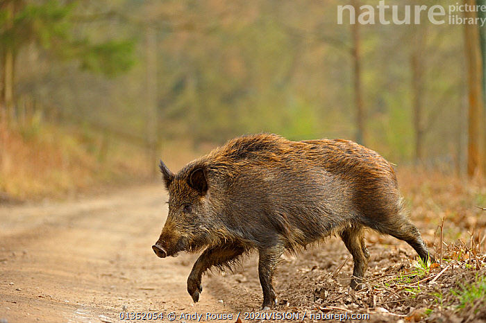 Wild boar (Sus scrofa) female crossing woodland track, Forest of Dean, Gloucestershire, UK, March 2011  ,  2020VISION,ARTIODACTYLA,ENGLAND,EUROPE,FEMALES,FORESTS,HABITAT,MAMMALS,PIGS,ROADS,Suidae,UK,VERTEBRATES,WALKING,WOODLANDS,United Kingdom  ,  Andy Rouse / 2020VISION