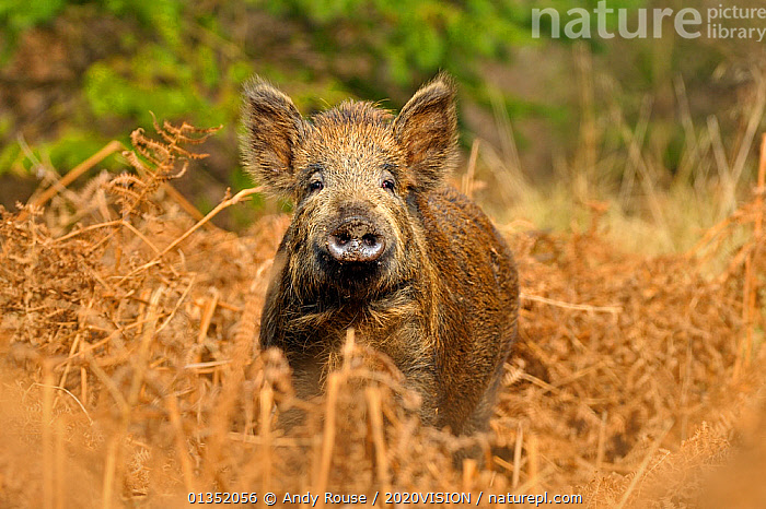 Wild boar (Sus scrofa) female in woodland undergrowth, Forest of Dean, Gloucestershire, UK, March  ,  2020VISION,ARTIODACTYLA,Bracken,ENGLAND,EUROPE,FEMALES,FORESTS,looking at camera,MAMMALS,NOSES,PIGS,Suidae,UK,VERTEBRATES,WOODLANDS,United Kingdom  ,  Andy Rouse / 2020VISION