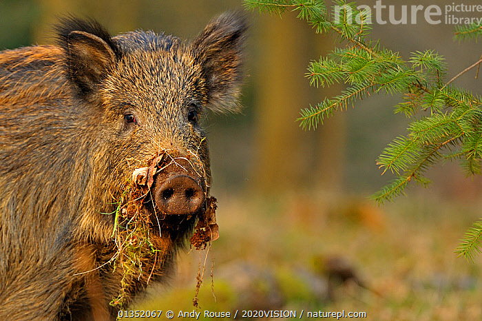 Wild boar (Sus scrofa) female in woodland with vegetation on snout, Forest of Dean, Gloucestershire, UK, March  ,  2020VISION,ARTIODACTYLA,digging,ENGLAND,EUROPE,FEMALES,FORESTS,HUMOROUS,MAMMALS,PIGS,Suidae,UK,VERTEBRATES,WOODLANDS,Concepts,United Kingdom  ,  Andy Rouse / 2020VISION