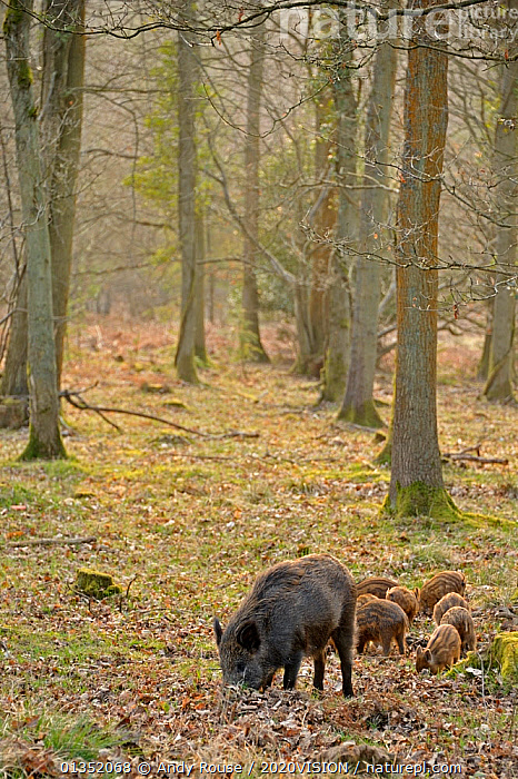 Wild boar (Sus scrofa) female with piglets in woodland, Forest of Dean, Gloucestershire, UK, March 2011  ,  2020VISION,animal,ARTIODACTYLA,BABIES,ENGLAND,EUROPE,FAMILIES,FEEDING,FORESTS,HABITAT,MAMMALS,mother babies,PIGS,Suidae,TREES,UK,VERTEBRATES,VERTICAL,WOODLANDS,PLANTS,United Kingdom  ,  Andy Rouse / 2020VISION