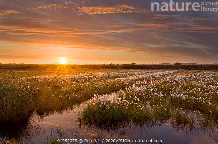 Ballynahone Bog at dawn with flowering cotton grass, County Londonderry, Northern Ireland, UK, June 2011. Did you know? Peatlands have been badly damaged across the UK but many organisations are working towards their restoration, as much as anything, for their ability to store carbon.  ,  2020VISION,BOGS,DAWN,EUROPE,IRELAND,LANDSCAPES,picday,RESERVE,SUN,SUNRISE,UK,WETLANDS,United Kingdom  ,  Ben Hall / 2020VISION