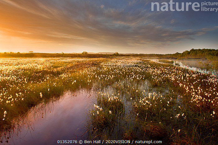 Ballynahone Bog at dawn with flowering cotton grass, County Londonderry, Northern Ireland, UK, June 2011  ,  2020VISION,BOGS,DAWN,EUROPE,IRELAND,LANDSCAPES,RESERVE,SUNRISE,UK,WATER,WETLANDS,United Kingdom  ,  Ben Hall / 2020VISION