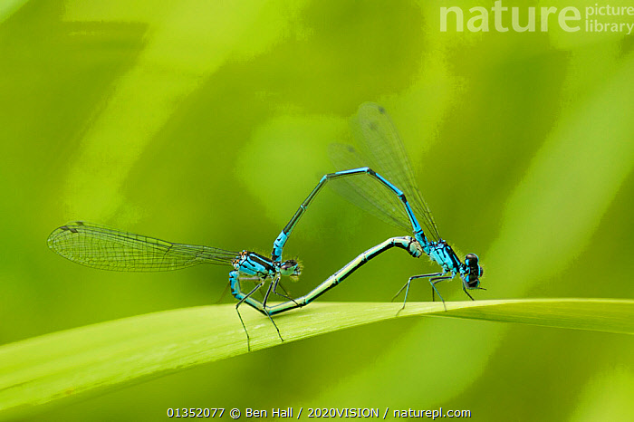 """Irish Damselfly (Coenagrion lunulatum) pair mating, Montiagh's Moss, County Antrim, Northern Ireland, June. Photographer quote: """"It�s hard to get excited about peat bogs but if you get down on your knees, all sorts of mini-marvels reveal themselves like these mating damselflies (clearly pre-occupied!). Raised bogs like this one in Northern Ireland may look like flat wastelands but they are in fact complex ecosystems."""" Did you know?  UK peatlands hold almost 4 times more carbon than forests.  ,  PICDAY,2020VISION,COPULATION,DAMSELFLIES,EUROPE,INSECTS,INVERTEBRATES,IRELAND,MACRO,MALE FEMALE PAIR,MATING BEHAVIOUR,ODONATA,RESERVE,UK,WETLANDS,Reproduction,United Kingdom  ,  Ben Hall / 2020VISION"""