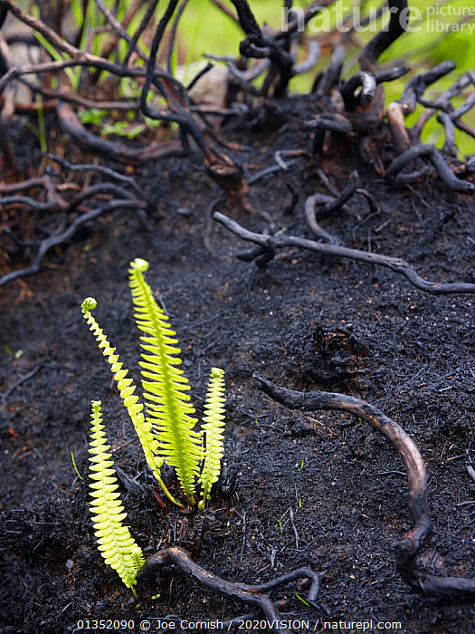 Fire-damaged landscape with new fern growth, near Lochinver, Highland, Scotland, UK, June 2011  ,  2020VISION,assynt / coigach SWT,BLACK,EUROPE,FERNS,FIRE,GREEN,GROWTH,HIGHLANDS,PLANTS,RAIN,regeneration,UK,VERTICAL,Concepts,United Kingdom  ,  Joe Cornish / 2020VISION