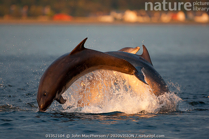 Social group of Bottlenose dolphin (Tursiops truncatus) playing and breaching in evening light, Moray Firth, Scotland, UK, June 2011, sequence 1/4  ,  2020VISION,BEHAVIOUR,bottlenose,BREACHING,CETACEANS,COASTAL WATERS,Delphinidae,DOLPHIN,DOLPHINS,EUROPE,GROUPS,JUMPING,LEAPING,MAMMALS,MARINE,moray firth,play,playing,SCOTLAND,seas,SEQUENCE,SUNSET,SURFACE,THREE,UK,VERTEBRATES,Communication,United Kingdom  ,  John MacPherson / 2020VISION
