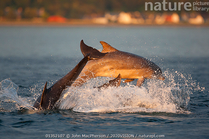 Social group of Bottlenose dolphin (Tursiops truncatus) playing and breaching in evening light, Moray Firth, Scotland, UK, June 2011, sequence 4/4  ,  2020VISION,BEHAVIOUR,bottlenose,BREACHING,CETACEANS,COASTAL WATERS,Delphinidae,DOLPHIN,DOLPHINS,EUROPE,GROUPS,JUMPING,LEAPING,MAMMALS,MARINE,moray firth,play,playing,SCOTLAND,seas,SEQUENCE,SUNSET,SURFACE,THREE,UK,VERTEBRATES,Communication,United Kingdom  ,  John MacPherson / 2020VISION