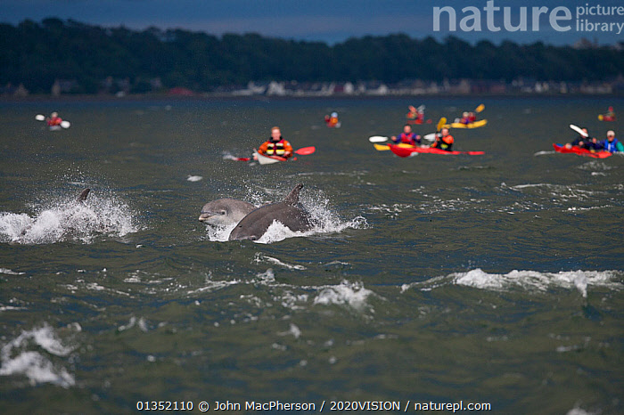 Group of sea kayakers watch Bottlenose dolphins breaching in evening light, Moray Firth, Inverness-shire, Scotland, UK, July  ,  2020VISION,BOATS,bottlenose,BREACHING,canoe,CANOEING,CETACEANS,Delphinidae,DOLPHIN,DOLPHINS,ecotourism,eco tourism,EUROPE,kayak,LEISURE,MAMMALS,MARINE,moray firth,PEOPLE,SCOTLAND,seas,TOURISM,UK,VERTEBRATES,watching,United Kingdom  ,  John MacPherson / 2020VISION