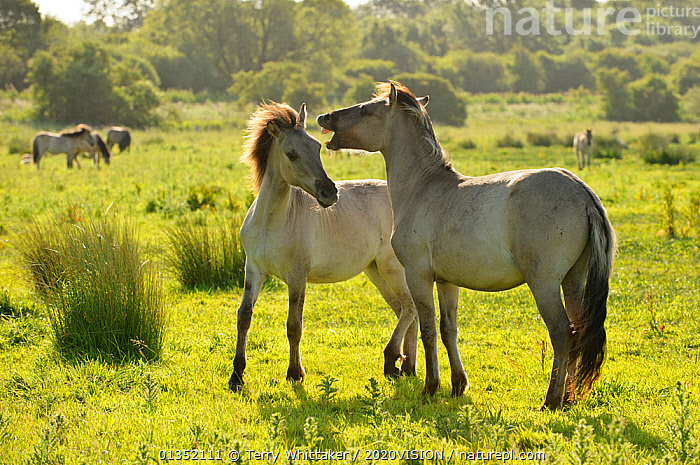 Konik horse (Equus caballus) pair interacting, wild herd in rewilding project, Wicken Fen, Cambridgeshire, UK, June 2011, 2020VISION,BEHAVIOUR,CONSERVATION,east anglian fens,EUROPE,fenland,FENS,feral,HORSES,INTERACTION,MALES,MAMMALS,PERISSODACTYLA,Pony,RESERVE,SUMMER,twh_20_080611_0012,two,UK,VERTEBRATES,WETLANDS,United Kingdom,Equines,2020cc, Terry Whittaker / 2020VISION