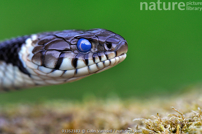 Close-up of head of Grass Snake (Natrix natrix) showing clouded eye prior to sloughing skin. Dorset, UK, May.  ,  COLUBRIDS,ECDYSIS,EUROPE,EYES,MOULTING,PORTRAITS,REPTILES,SNAKES,UK,VERTEBRATES,United Kingdom  ,  Colin Varndell