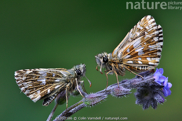 Grizzled Skippers butterflies (Pyrgus malvae) at rest on Forget-me-not flower. Dorset, UK, May.  ,  EUROPE,FLOWERS,INSECTS,INVERTEBRATES,LEPIDOPTERA,SKIPPER BUTTERFLIES,SKIPPERS,TWO,UK,United Kingdom,Butterflies  ,  Colin Varndell