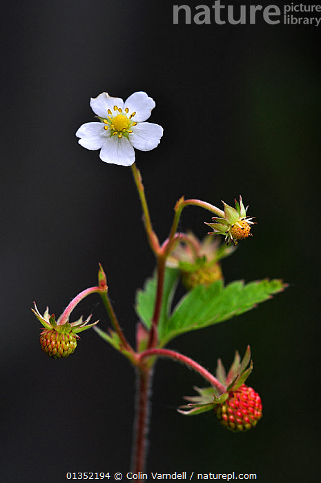 Flower and fruit of Wild Strawberry (Fragaria vesca). Dorset, UK, May.  ,  BERRIES,BLACK BACKGROUND,CUTOUT,DICOTYLEDONS,EUROPE,FLOWERS,FRUIT,PLANTS,ROSACEAE,UK,VERTICAL,United Kingdom  ,  Colin Varndell