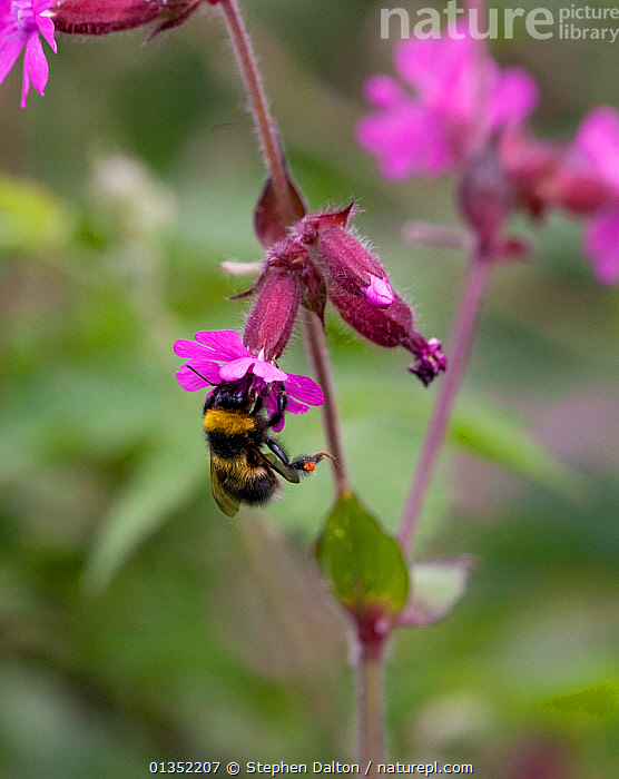 Buff-tailed Bumblebee (Bombus terrestris) foraging on Red Campion. Sussex, UK, May.  ,  ARTHROPODS,BEES,BUMBLEBEES,ENGLAND,EUROPE,FLOWERS,HYMENOPTERA,INSECTS,INVERTEBRATES,UK,VERTICAL,United Kingdom  ,  Stephen Dalton