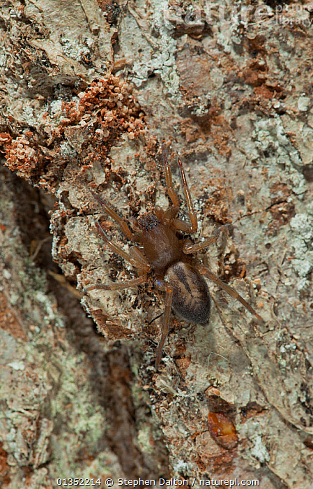 Sac Spider (Clubiona corticalis) against bark. Sussex, UK, December.  ,  ARACHNIDS,ENGLAND,EUROPE,INVERTEBRATES,SAC SPIDERS,UK,VERTICAL,United Kingdom  ,  Stephen Dalton