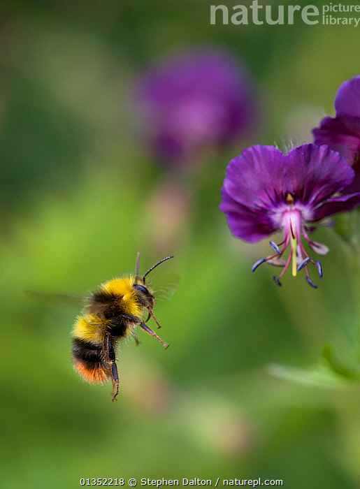 Early Bumblebee (Bombus pratorum) visiting Geranium flower. Sussex, UK, May.  ,  ARTHROPODS,BEES,BUMBLEBEES,ENGLAND,EUROPE,FLOWERS,FLYING,HYMENOPTERA,INSECTS,INVERTEBRATES,UK,VERTICAL,United Kingdom  ,  Stephen Dalton