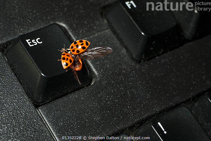 Harlequin Ladybird (Harmonia axyridis succinea) on the escape key of a computer keyboard. UK, January.  ,  BEETLES,COLEOPTERA,ENGLAND,EUROPE,INSECTS,INVERTEBRATES,LADYBIRDS,TECHNOLOGY,UK,United Kingdom  ,  Stephen Dalton