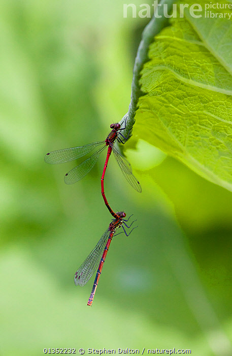 Large Red Damselflies (Pyrrhosoma nymphula) mating. Sussex, UK, May.  ,  ARTHROPODS,COPULATION,DAMSELFLIES,ENGLAND,EUROPE,INSECTS,INVERTEBRATES,MALE FEMALE PAIR,MATING BEHAVIOUR,ODONATA,TWO,UK,VERTICAL,Reproduction,United Kingdom  ,  Stephen Dalton