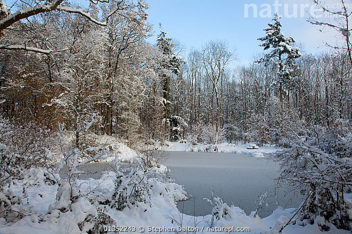 Rookery Wood pond in snow. Holly Farm, Sussex, UK, December 2010.  ,  ENGLAND,EUROPE,ICE,LANDSCAPES,PONDS,SNOW,UK,WINTER,WOODLANDS,United Kingdom  ,  Stephen Dalton