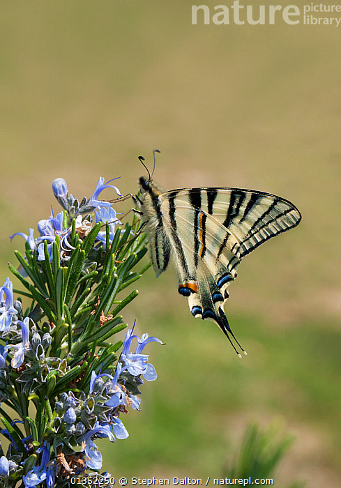 Scarce Swallowtail Butterfly (Papilio / Iphiclides podalirius) on flowers. Umbria, Italy, April.  ,  BUTTERFLIES,EUROPE,INSECTS,INVERTEBRATES,ITALY,LEPIDOPTERA,SWALLOWTAIL BUTTERFLIES,UMBRIA,VERTICAL  ,  Stephen Dalton