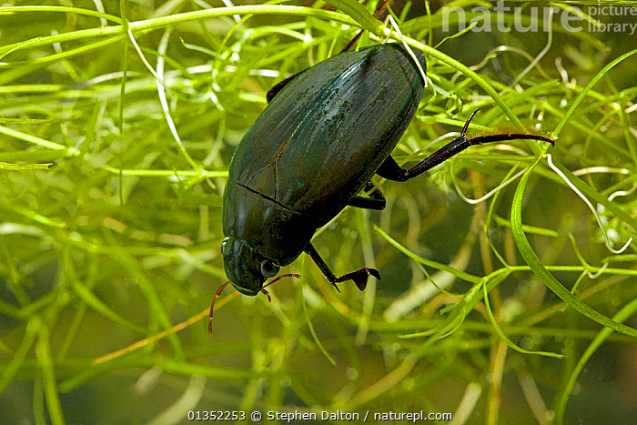 Great Silver Water / Diving Beetle (Hydrophilus piceus) male. Sussex, UK, March.  ,  AQUATIC,ARTHROPODS,BEETLES,COLEOPTERA,ENGLAND,EUROPE,FRESHWATER,INSECTS,INVERTEBRATES,UK,UNDERWATER,WATER BEETLES,United Kingdom  ,  Stephen Dalton