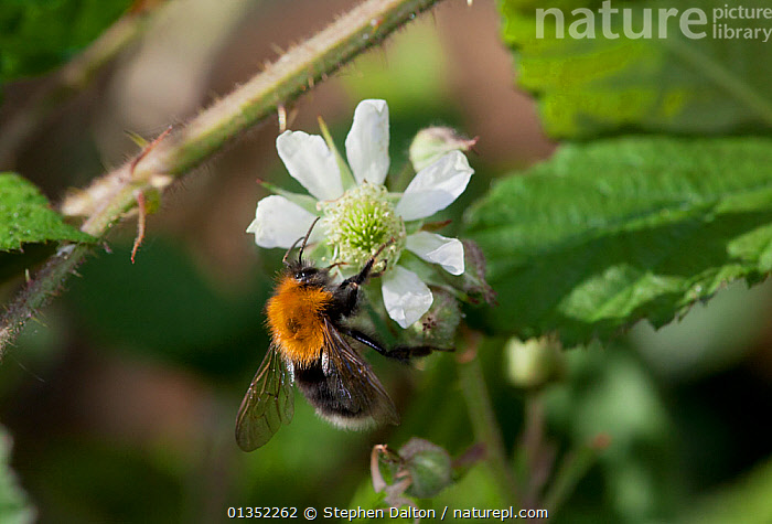Tree Bumblebee (Bombus hypnorum) on Bramble (Rubus fruticosus) flower. This species was first recorded in Britain in 2001. Sussex, UK, May.  ,  ARTHROPODS,BEES,ENGLAND,EUROPE,FLOWERS,HYMENOPTERA,INSECTS,INVERTEBRATES,UK,United Kingdom  ,  Stephen Dalton