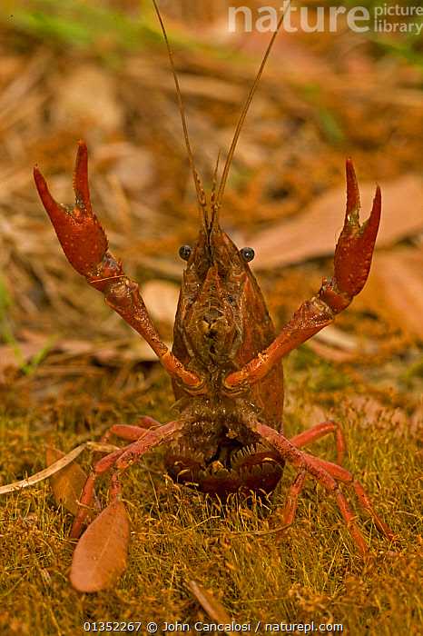 Red Louisiana Swamp Crawfish / Crayfish (Procambarus clarkii) with its claws up in a defensive display. Important commercial food item, native to Southeastern US. Louisiana, USA, April.  ,  ARTHROPODS,CAMBARIDAE,CLAWS,CRAWFISH,CRAYFISH,CRUSTACEANS,DEFENSIVE,FRESHWATER,INVERTEBRATES,LOUISIANA,NORTH AMERICA,PORTRAITS,USA,VERTICAL,Behaviour  ,  John Cancalosi