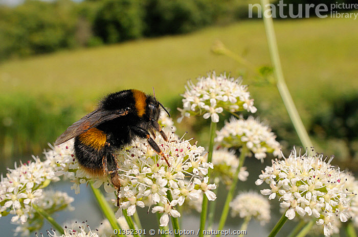 Buff-tailed Bumblebee (Bombus lucorum) foraging on Wild Angelica (Angelica sylvestris) flowering on river bank. Wiltshire, UK, June.  ,  ARTHROPODS,BEES,BUMBLEBEES,COPYSPACE,EUROPE,FLOWERS,HYMENOPTERA,INSECTS,INVERTEBRATES,UK,United Kingdom  ,  Nick Upton