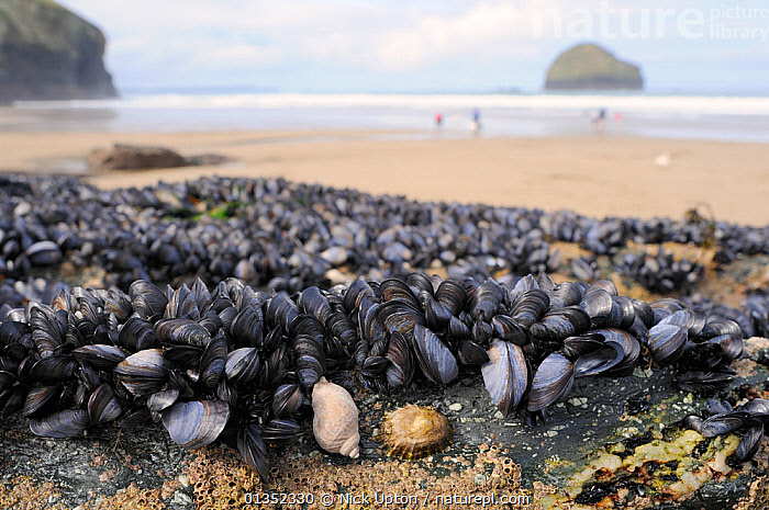 Common Mussels (Mytilus edulis) Dog Whelk (Nucella lapillus), Common limpet (Patella vulgata) and Montagu's stellate barnacles (Chthamalus montagui) exposed at low tide on rocks fringing a sandy beach with tourists in the background. Trebarwith strand, North Cornwall, UK, April.  ,  BEACHES,BIVALVES,COASTS,CRUSTACEANS,EDIBLE,ENGLAND,GASTROPODS,INTERTIDAL,INVERTEBRATES,LANDSCAPES,MARINE,MIXED SPECIES,MOLLUSCS,MUSSELS,OUTDOORS,PEOPLE,SNAILS,Europe,United Kingdom  ,  Nick Upton