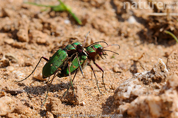 Green Tiger Beetle (Cicindela campestris) male guarding female after mating by gripping her with his mandibles. Sandy cliffs, Cornwall, UK, April.  ,  BEETLES,BEHAVIOUR,COLEOPTERA,COPULATION,EUROPE,INSECTS,INVERTEBRATES,MALE FEMALE PAIR,MATING BEHAVIOUR,TIGER BEETLES,UK,Reproduction,United Kingdom  ,  Nick Upton