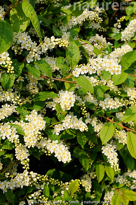 Bird Cherry (Prunus padus) in full blossom in hedgerow. Norfolk, England, April.  ,  BLOSSOM,DICOTYLEDONS,EUROPE,FLOWERS,PLANTS,ROSACEAE,UK,VERTICAL,United Kingdom  ,  Gary K. Smith