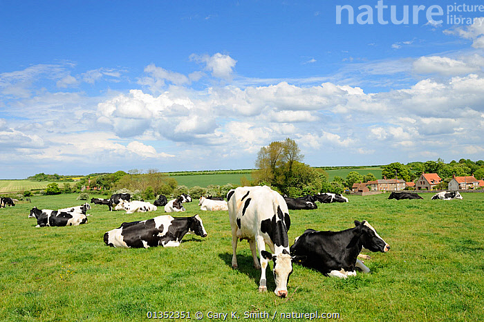Friesian / Holstein dairy cows on pasture. Norfolk, UK, May.  ,  ARTIODACTYLA,BOVIDS,CATTLE,COUNTRYSIDE,COW,COWS,EUROPE,FARMING,LANDSCAPES,LIVESTOCK,MAMMALS,UK,VERTEBRATES,United Kingdom  ,  Gary K. Smith