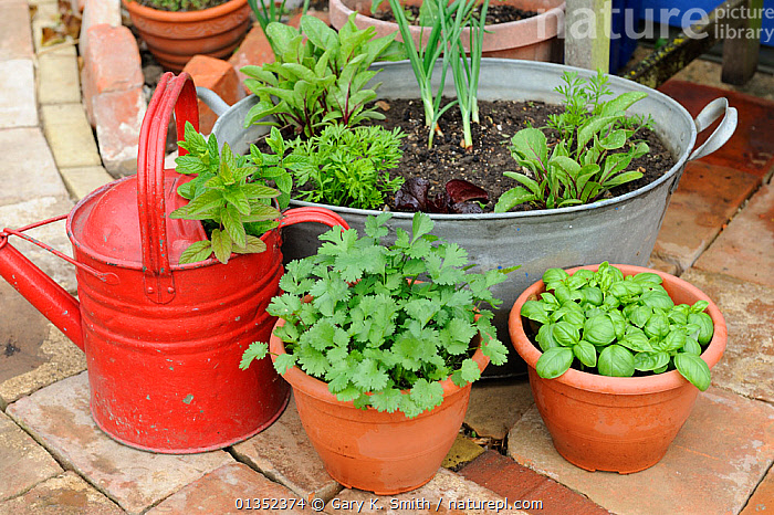 Patio gardening, various containers of herbs and salad crops growing in garden patio area. Norfolk, England, UK.  ,  BASIL,EUROPE,FOOD,GARDENING,GARDENS,HERBS,MINT,PARSLEY,PLANTS,UK,VEGETABLES,United Kingdom  ,  Gary K. Smith