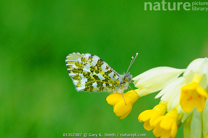 Orange Tip Butterfly (Anthocharis cardamines) female resting on flower. Norfolk, England, April.  ,  ARTHROPODS,BUTTERFLIES,EUROPE,FLOWERS,INSECTS,INVERTEBRATES,LEPIDOPTERA,UK,United Kingdom  ,  Gary K. Smith