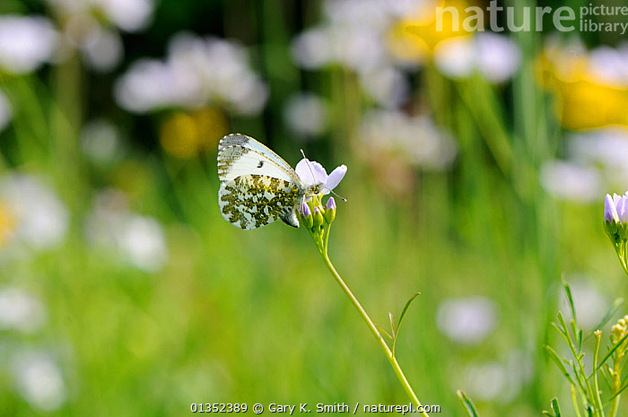 Orange Tip Butterfly (Anthocharis cardamines) female on flower. Norfolk, England, April.  ,  ARTHROPODS,BUTTERFLIES,EUROPE,FLOWERS,INSECTS,INVERTEBRATES,LEPIDOPTERA,UK,United Kingdom  ,  Gary K. Smith