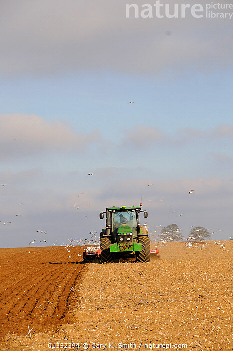 Flock of Gulls (Larus argentatus) following a ploughing tractor. Norfolk, UK, March.  ,  AGRICULTURE,BIRDS,COPYSPACE,COUNTRYSIDE,EUROPE,FIELDS,GROUPS,GULLS,LANDSCAPES,LARIDAE,PLOUGH,SEABIRDS,TRACTORS,UK,VEHICLES,VERTEBRATES,VERTICAL,United Kingdom  ,  Gary K. Smith