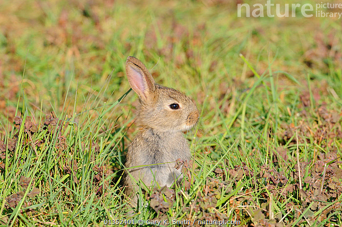 European Rabbits (Oryctolagus cuniculus) young sitting alert. Norfolk, England, May.  ,  CUTE,EUROPE,LAGOMORPHS,MAMMALS,PORTRAITS,PROFILE,RABBITS,UK,VERTEBRATES,YOUNG,United Kingdom  ,  Gary K. Smith