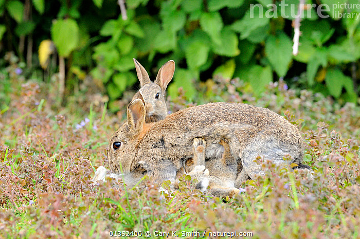 European Rabbits (Oryctolagus cuniculus) adult female with young suckling. Norfolk, England, May.  ,  BEHAVIOUR,EUROPE,GROUPS,LAGOMORPHS,MAMMALS,MOTHER BABY,RABBITS,SMALL GROUPS,SUCKLING,UK,VERTEBRATES,YOUNG,United Kingdom  ,  Gary K. Smith