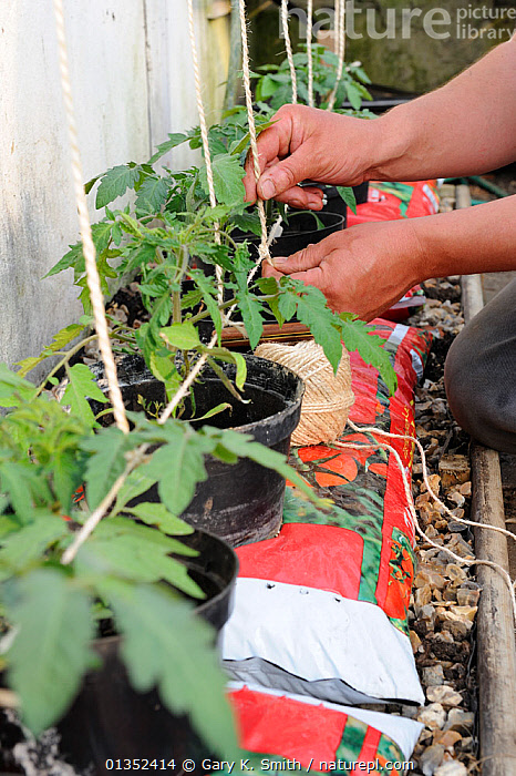 Training Tomato (Solanum lycopersicum) plants, gardener fixing string to support greenhouse tomatoes in growbags, note plants in bottomless pots placed in growbag to increase root run. Norfolk, England, April.  ,  DICOTYLEDONS,EDIBLE,EUROPE,GARDENING,GARDENS,OUTDOORS,PEOPLE,PLANTING,PLANTS,SOLANACEAE,UK,VERTICAL,United Kingdom  ,  Gary K. Smith